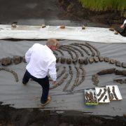 Urzeitliches Walskelett erstmals in voller Größe zu sehen (Foto)