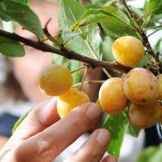 Bauern beklagen Schäden durch Obstdiebe (Foto)