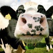 Oberschwaben: Kühe zerlegen Bauernhaus (Foto)