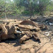 Studie:Wilderei bedroht Afrikanische Elefanten (Foto)