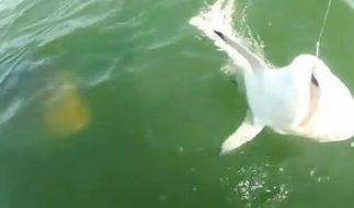Kurz vor seiner Attacke schleicht der Gigant bereits um den Hai herum. (Foto)