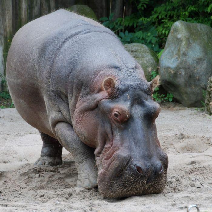 Besucher tötet Flusspferd im Zoo Frankfurt (Foto)