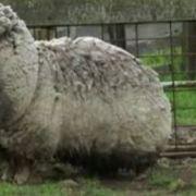 Verwildertes Schaf schleppt 20 Kilo Wolle (Foto)
