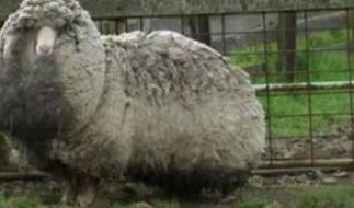 Ganz schön wollig: Ganze sechs Jahre lebte dieses Merinoschaf in Freiheit und legte sich während dieser Zeit einen dicken Mantel zu. Satte 20 Kilo Wolle schleppt es mit sich herum. (Foto)