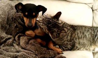 Wie niedlich: Der kleine Welpe Zeke wird nach einer Behandlung beim Tierarzt von seinem tierischen Freund, der Katze Winston, gesund gekuschelt. (Foto)