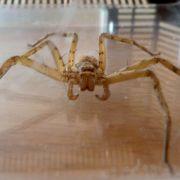 Widerlich! 5-Zentimeter-Spinne in Cola gefunden (Foto)