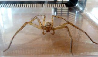 Diese Spinne wurde nicht in der Cola gefunden, allerdings vor Kurzem in einer Bananenkiste in Düsseldorf. (Foto)
