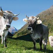 Kuh will vor Schlachtbank fliehen und wird erschossen! (Foto)