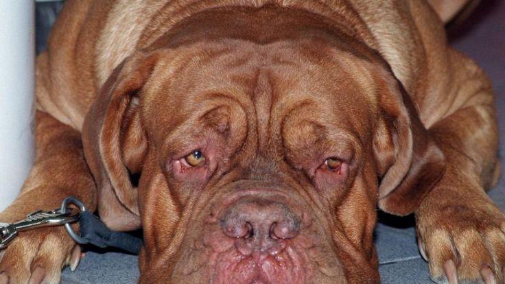 Einem Artgenossen dieser Dogge wurde in den USA in einer mehrstündigen Operation Unglaubliches aus dem Magen entfernt. (Foto)