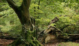 Immer mehr ursprüngliche Wälder schwinden (Foto)
