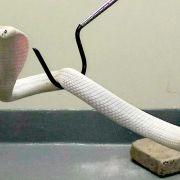 Giftige Kobra in Kalifornien nach tagelanger Jagd gefangen (Foto)
