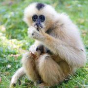 Genom entziffert: Wie die Gibbons zu ihren langen Armen kamen (Foto)