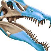 Größter bekannter Raubsaurier jagte im Wasser (Foto)
