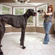 Rekord-Dogge Zeus ist tot (Foto)
