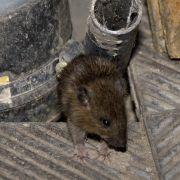 Ratten fallen behinderten Jungen an (Foto)