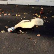 Betrunkenes Stinktier randaliert in Bierdose (Foto)