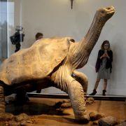 Einbalsamierte Schildkröte «Lonesome George» in New York ausgestellt (Foto)