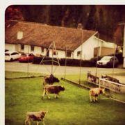 Schweizer Kühe auf dem Platz