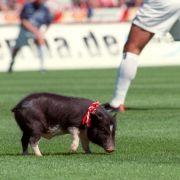 Ausnamsweise ganz legal weidete Schwein Rudi bei Spielen des FC Energie Cottbus auf dem Grün.