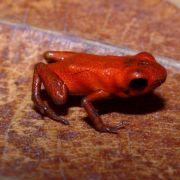 Orangener Pfeilgiftfrosch in Panama entdeckt (Foto)