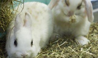 In einem der Crush-Videos soll einem Kaninchen bei lebendigem Leib das Fell abgezogen worden sein. (Symbolbild) (Foto)