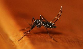 Erste Asiatische Tigermücke im Mückenatlas registriert (Foto)