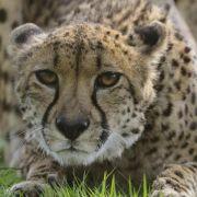 Mutter lässt Zweijährigen in Gepardengehege fallen (Foto)