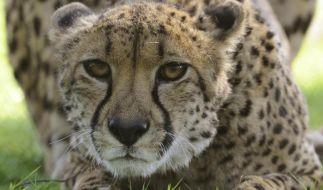 In Cleveland wäre ein Zweijähriger fasst Opfer von Geparden geworden. (Foto)