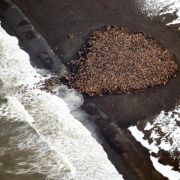 Zehntausende Walrosse drängen mangels Eis an Land (Foto)