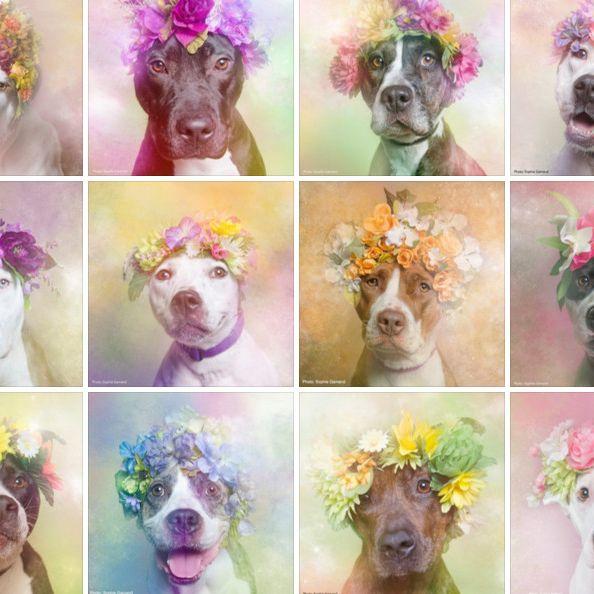Wenn Pitbulls zu Blumenkindern werden (Foto)