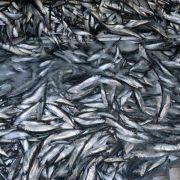 Ostsee-Fangmengen: Mehr Hering, weniger Dorsch (Foto)