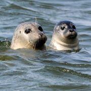 Tödliche Seuche? Massensterben an der Nordsee (Foto)