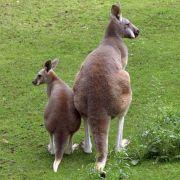 Frühere Kängurus konnten nicht hüpfen (Foto)