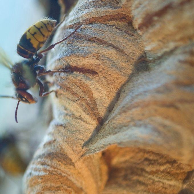 Riesenhornissen stechen Familie zu Tode (Foto)