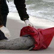 Untersuchung: Viele Seehunde sterben an Lungenentzündung (Foto)
