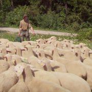 Heike hilft Rainer beim Schafetreiben.