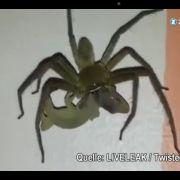 Farblich ist es die perfekte Harmonie, mit Zuneigung hat diese Umklammerung aber so gar nichts zu tun. Diese riesige Spinne, gefilmt in Asien, hat sich einen nicht weniger großem Happen vorgenommen.