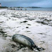 Seehunde im Wattenmeer starben an Variante der Vogelgrippe (Foto)