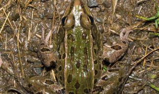 Neue Froschart mitten in New York entdeckt (Foto)