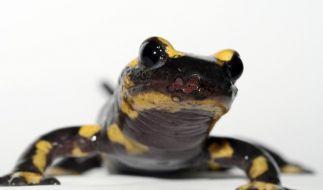 Pilzerkrankung aus Asien bedroht europäische Salamander (Foto)