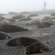 Tierfreunde bestürzt: Kegelrobbe frisst Seehunde (Foto)