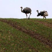 Wilde Nandus in Mecklenburg dehnen ihr Territorium aus (Foto)