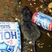 Vermutlich weit weniger Ratten in New York als gedacht (Foto)