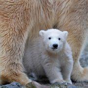 Eisbären und Haie sollen stärker geschützt werden (Foto)