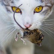 Mensch hinterläßt Spuren im Hauskatzen-Erbgut (Foto)