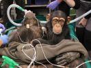 Bei der OP weicht Schimpansin My keinen Zentimeter von ihrer Mutter. (Foto)