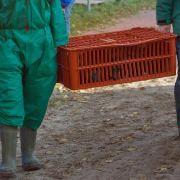 Vogelgrippe: Wildgänse könnten verantwortlich sein (Foto)