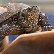 Europäische Sumpfschildkröte ist «Reptil des Jahres 2015» (Foto)