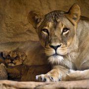 Löwen im Dresdner Zoo vergiftet (Foto)