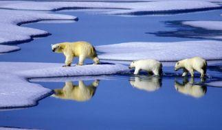 WWF:Klimawandel macht Eisbären stark zu schaffen (Foto)